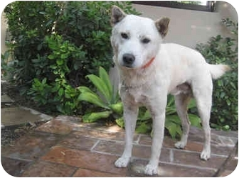 Jindo Dog for adoption in Los Angeles, California - Ted