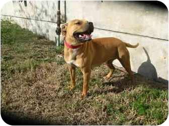 Pit Bull Terrier Mix Dog for adoption in Crandall, Texas - Axl Rose