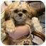 Photo 1 - Lhasa Apso/Pekingese Mix Puppy for adoption in North Kansas City, Missouri - Adoption Pending