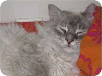 Siamese Cat for adoption in East Springfield, Pennsylvania - Noel