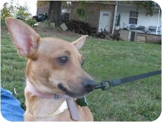 Chihuahua Mix Dog for adoption in Naugatuck, Connecticut - Angel