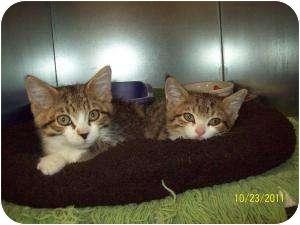 Domestic Shorthair Kitten for adoption in Barron, Wisconsin - Reno