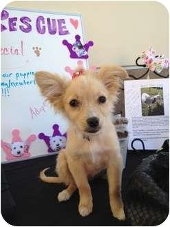 Pomeranian Mix Puppy for adoption in Brea, California - Roxy