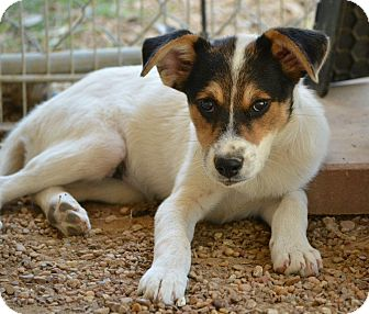 Spaniel (Unknown Type)/Terrier (Unknown Type, Medium) Mix Puppy for adoption in New Boston, New Hampshire - Lucy
