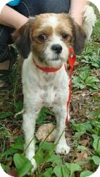 Shih Tzu Mix Dog for adoption in Hagerstown, Maryland - Freckles