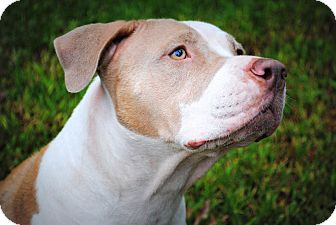 American Pit Bull Terrier Mix Dog for adoption in Orlando, Florida - Freedom