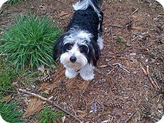 Maltese/Poodle (Miniature) Mix Puppy for adoption in Mt Gretna, Pennsylvania - Bandit