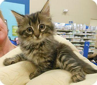 Domestic Mediumhair Kitten for adoption in Reston, Virginia - Bentley