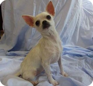 Chihuahua Mix Puppy for adoption in Ridgway, Colorado - Marshmallow