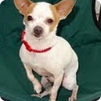 Adopt A Pet :: Chester - Santa Monica, CA