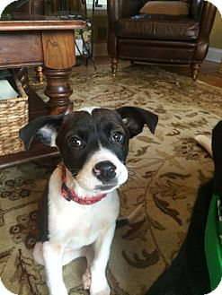 Brittany/Spaniel (Unknown Type) Mix Puppy for adoption in Randolph, New Jersey - Molly