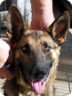 German Shepherd Dog Dog for adoption in Oakley, California - Sierra