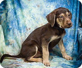 Labrador Retriever Mix Puppy for adoption in Anna, Illinois - JAYDA