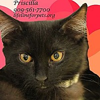 Domestic Mediumhair Cat for adoption in Monrovia, California - Purr-fect PRISCILLA