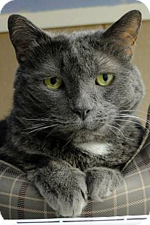 Domestic Shorthair Cat for adoption in Douglas, Wyoming - Stein
