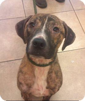 Boxer/Black Mouth Cur Mix Dog for adoption in Orange Lake, Florida - Charlie Brown