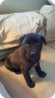 Labrador Retriever Mix Puppy for adoption in Lima, Pennsylvania - Shelly