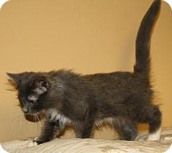 Domestic Longhair Cat for adoption in Lovingston, Virginia - Uri