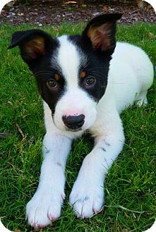 Border Collie Mix Puppy for adoption in Plano, Texas - Milo