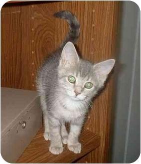 Domestic Shorthair Kitten for adoption in Manahawkin, New Jersey - Missy