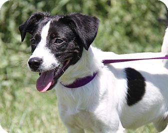 Terrier (Unknown Type, Small) Mix Dog for adoption in Marietta, Ohio - Spot