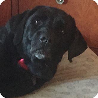 Labrador Retriever Dog for adoption in Phoenix, Arizona - Bella