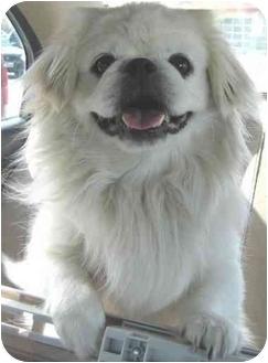 Pekingese Dog for adoption in Mays Landing, New Jersey - Sabo