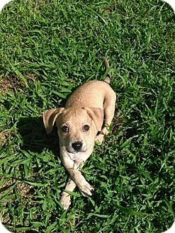 American Pit Bull Terrier Mix Puppy for adoption in North Vancouver, British Columbia - Mocha
