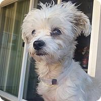 Adopt A Pet :: Snowball - Santa Ana, CA
