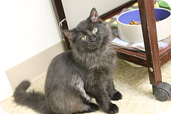 Domestic Mediumhair Cat for adoption in Medina, Ohio - Minnow