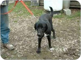 Labrador Retriever/Springer Spaniel Mix Dog for adoption in Makinen, Minnesota - Jax