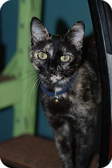 Domestic Shorthair Cat for adoption in Nashville, Tennessee - Taffy