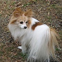 Adopt A Pet :: Bailey (age 15) in VA - Marietta, GA