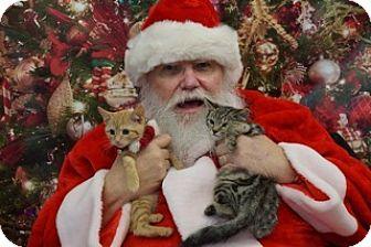 Domestic Shorthair Kitten for adoption in Washington, Virginia - Georgie