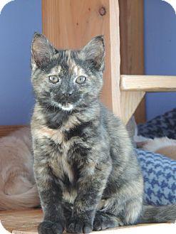 Domestic Shorthair Kitten for adoption in Brookings, South Dakota - Cinnamon Iciclebuns