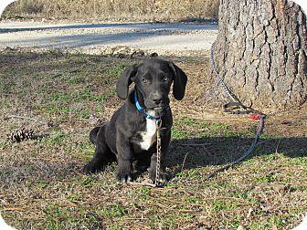 Basset Hound/Husky Mix Puppy for adoption in Hartford, Connecticut - RYDER