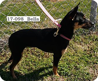 Miniature Pinscher/Chihuahua Mix Dog for adoption in Cannelton, Indiana - Bella