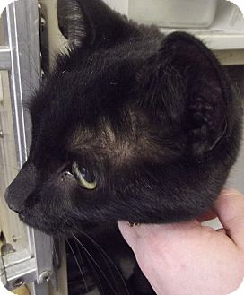 Domestic Shorthair Cat for adoption in Cheboygan, Michigan - ICHABOD