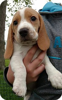 Beagle Puppy for adoption in Fairview Heights, Illinois - Buster