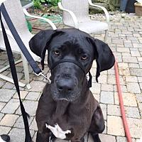 Adopt A Pet :: Averie - St. Louis, MO