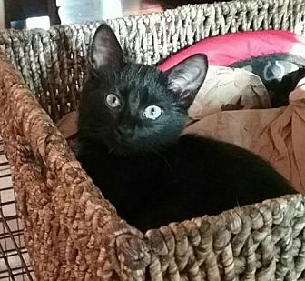 Bombay Cat for adoption in Knoxville, Tennessee - Catniss Female