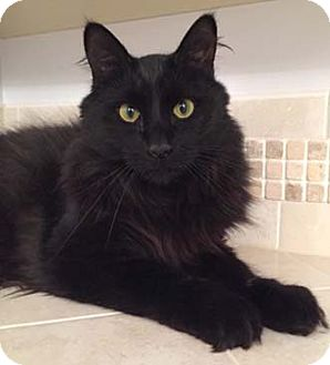 Maine Coon Cat for adoption in Merrifield, Virginia - James