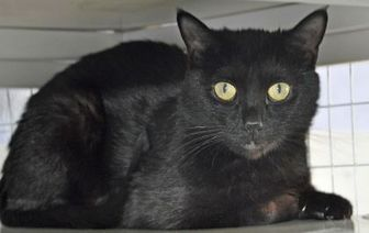 Domestic Shorthair/Domestic Shorthair Mix Cat for adoption in Grand Junction, Colorado - Jellybean