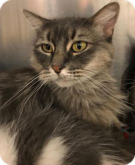 Domestic Longhair Cat for adoption in Sacramento, California - Cindy Crawford