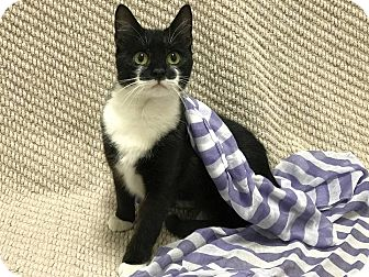 Domestic Shorthair Cat for adoption in Lexington, North Carolina - OLGA