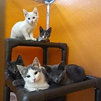 Adopt A Pet :: Houdini Harvey Pippa - Elyria, OH