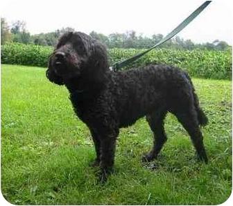 Poodle (Miniature)/Schnauzer (Standard) Mix Dog for adoption in New Carlisle, Indiana - Rousseau