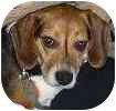 Beagle Dog for adoption in Hamilton, Ontario - Cooper