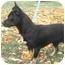 Photo 2 - Chihuahua Mix Dog for adoption in Okotoks, Alberta - Munchkin