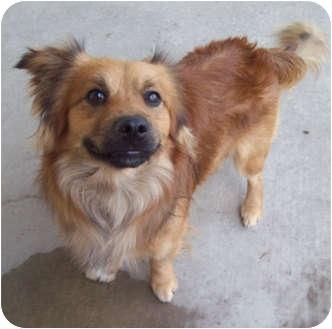 Spaniel (Unknown Type)/Dachshund Mix Dog for adoption in Marseilles, Illinois - Louie